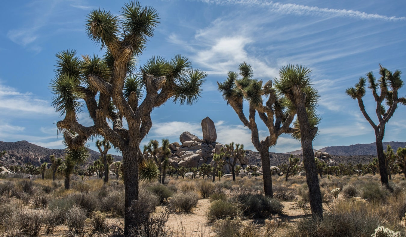 The beautiful and unique Joshua trees in Joshua Tree National Park, California