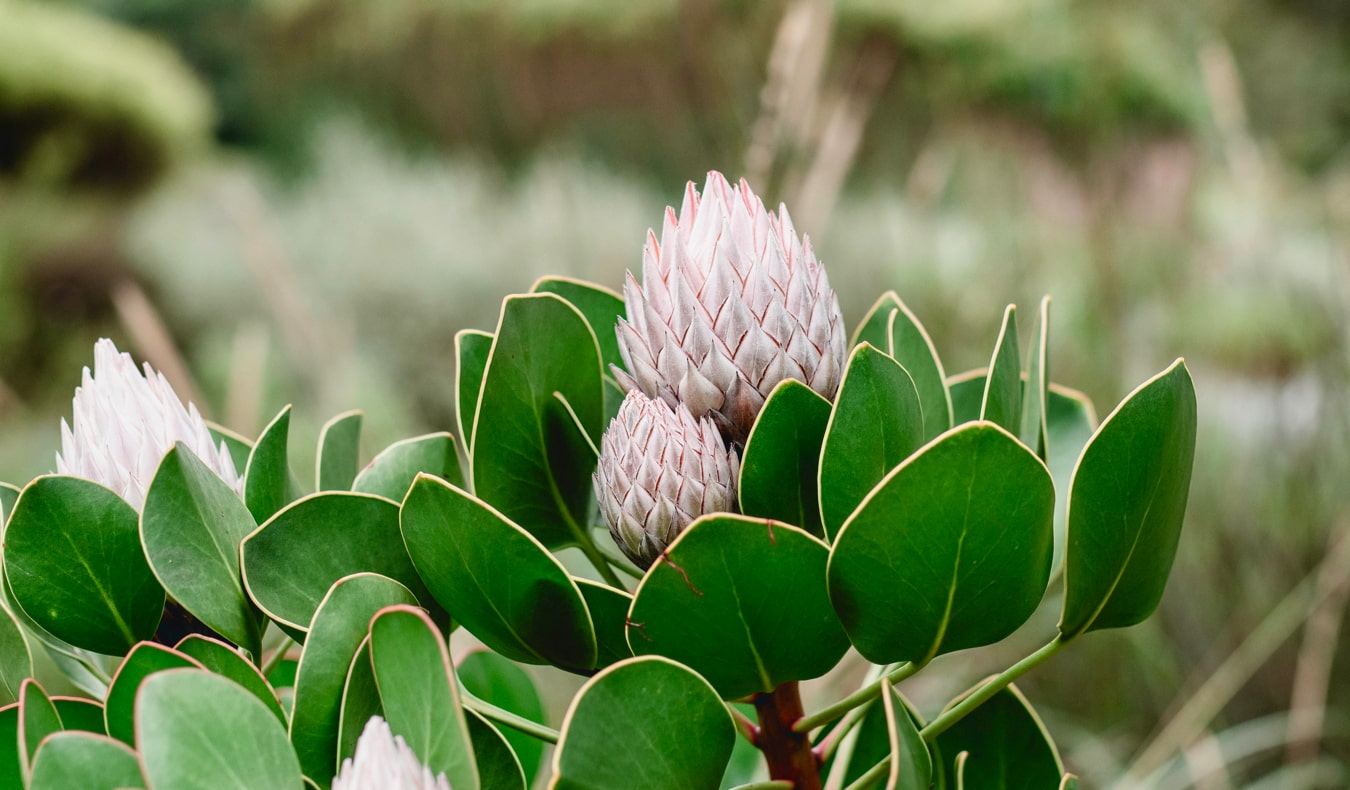 A colorful, exotic plant at the historic Kirstenbosch Gardens in Cape Town, South Africa