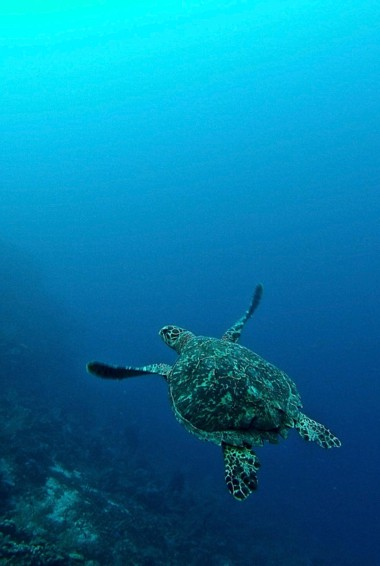 A turtle swimming in the clear waters of Honduras