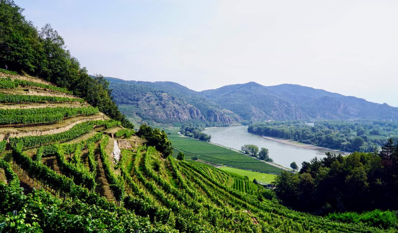 A vineyard in the Wachau Valley of Austria near Vienna