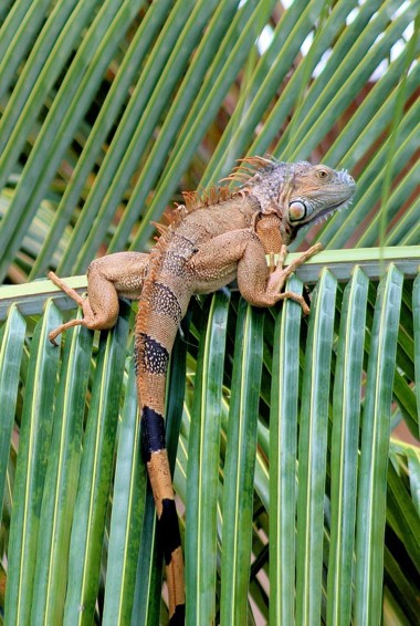 A large lizard hanging out on some plants in Placencia, Belize