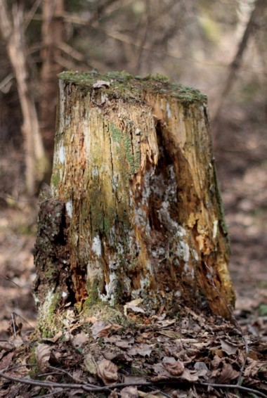An old tree stump in Braslav lake National park in belarus