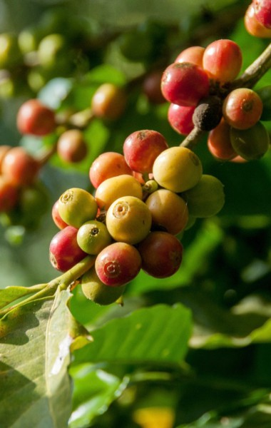 Coffee growing in Boquete, Panama
