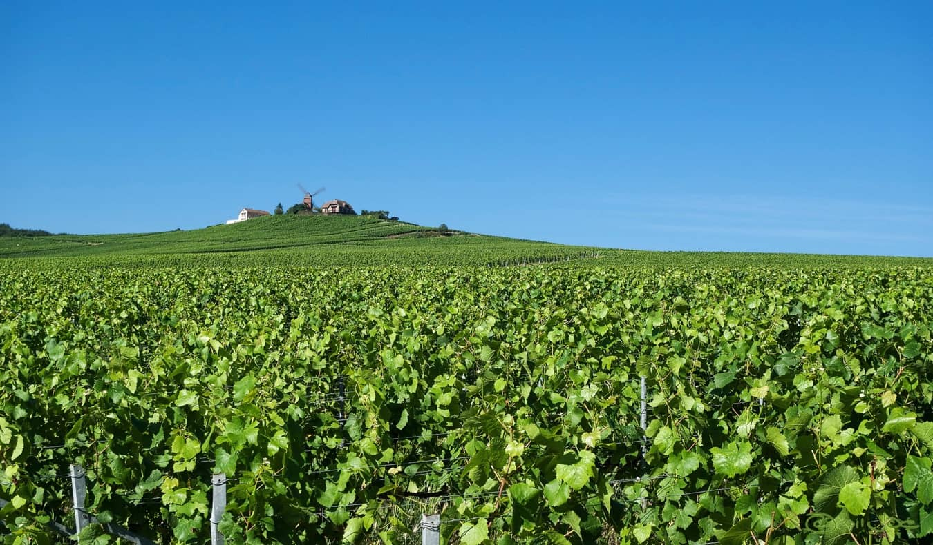 The rolling yellow fields of the Champagne region of France after the harvest