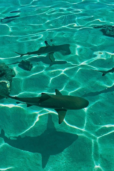 Sharks swimming in the waters of French Polynesia