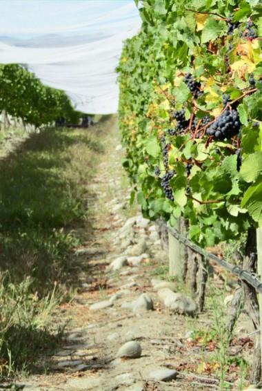 Grapes at a vineyard in Wanaka, New Zealand
