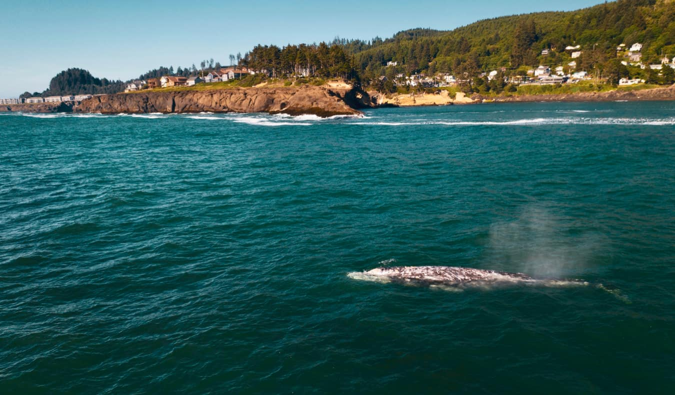 A solo whale swimming in the waters near the coast of Oregon, USA