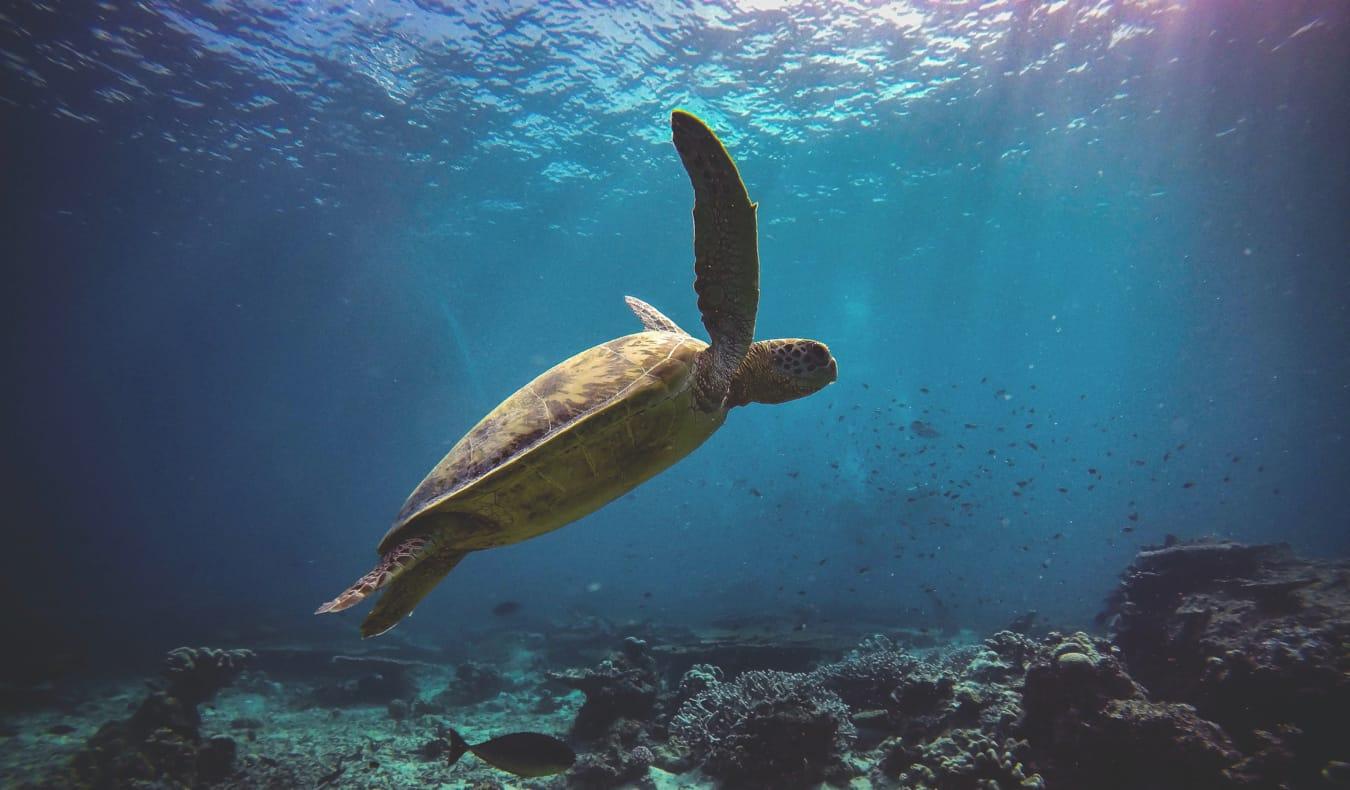 A turtle in Sipadan, Malaysia while scuba diving
