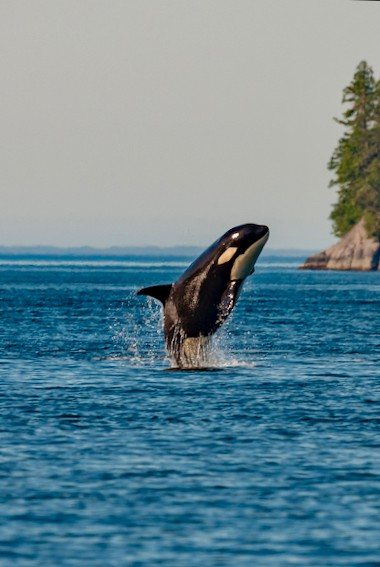 An orca jumping in the water off the coast of Victoria, BC, Canada/