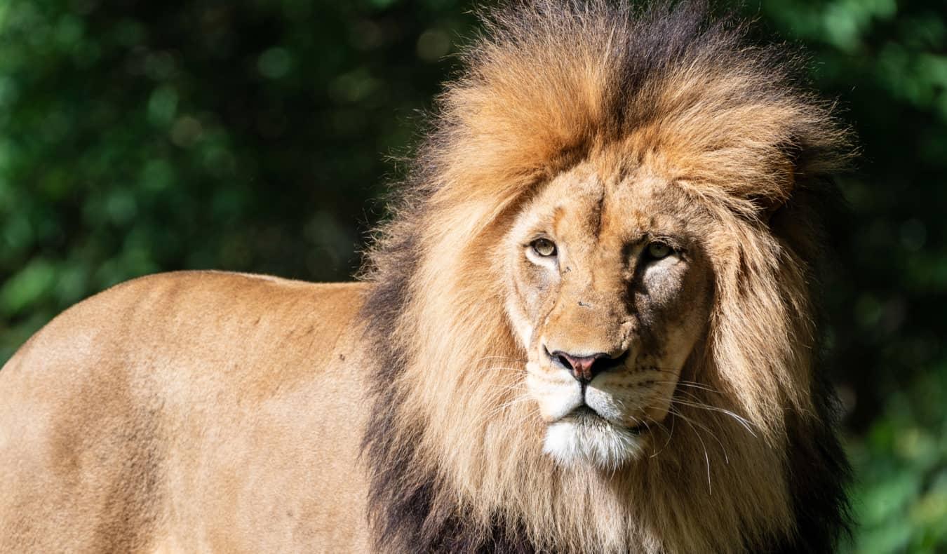 A lion at the Washington, DC national zoo
