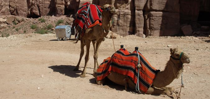 Two camels in the Middle Eastern heat, one is sitting