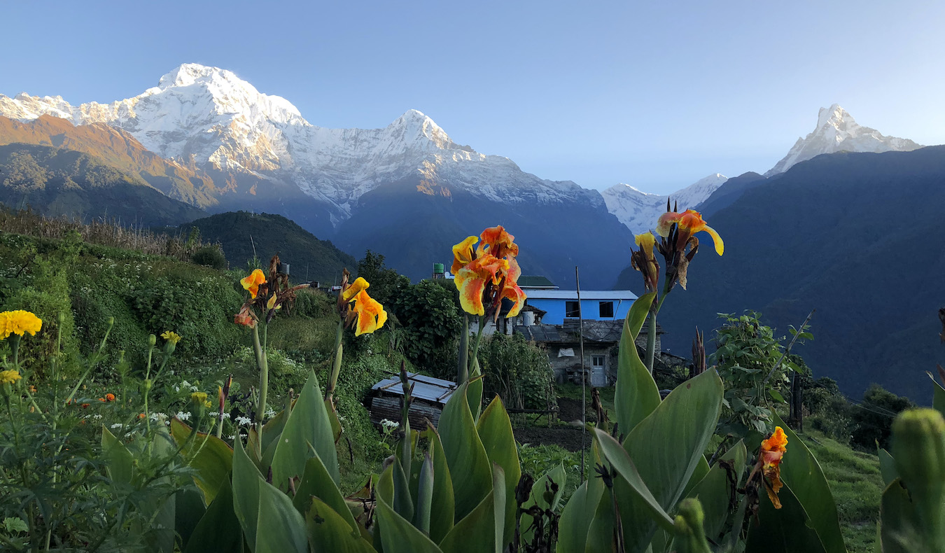 beautiful flowers in a field against snowy mountains on a hike in Nepal