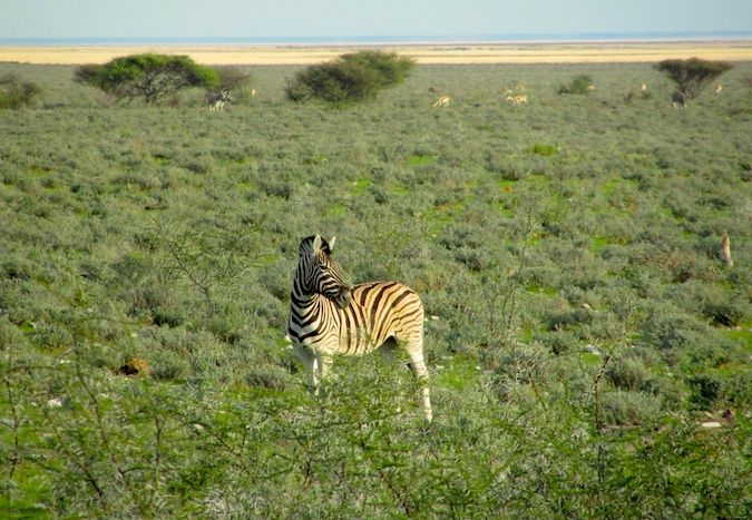 A lone zebra on the savannah in Namibia, Southern Africa
