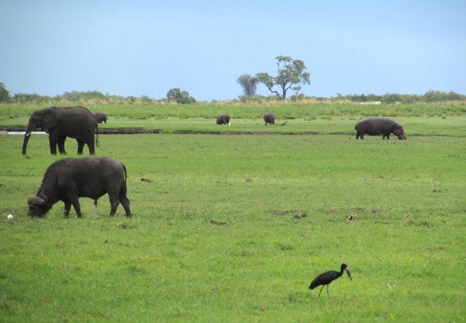 A photo of an elephant, hippo, and water buffalo in the Chobe River in Southern Africa