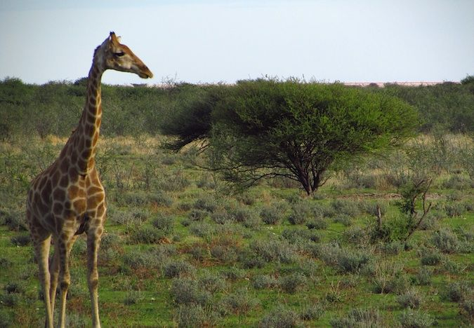 A giraffe posing for the camera