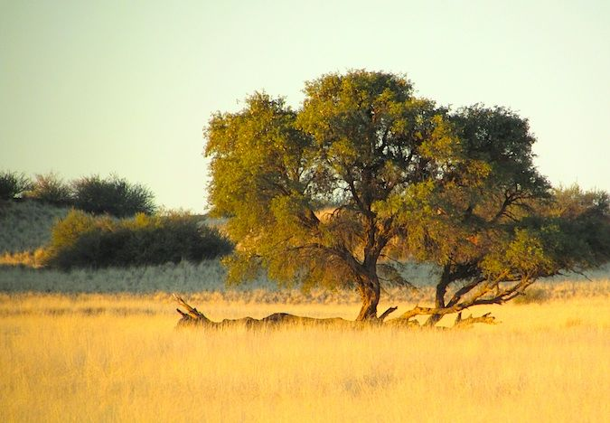 A lone tree in the savannah in Namibia, Southern Africa