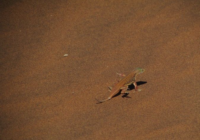 A photo of a stunning lizard in the African desert