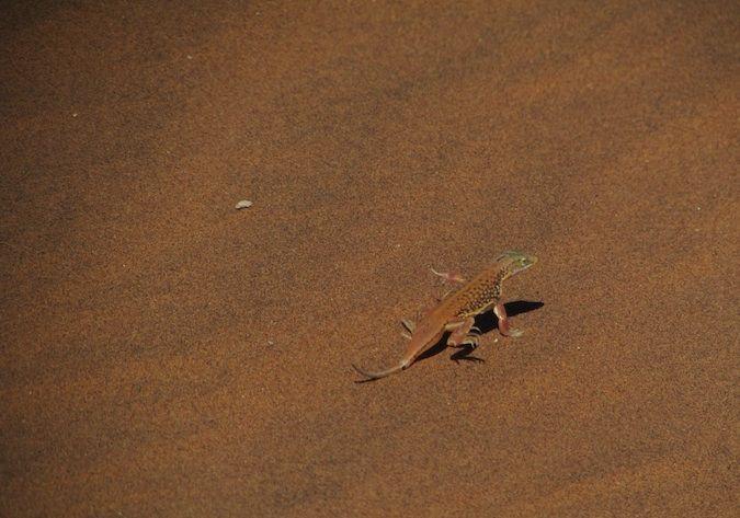 A photo of a stunning lizard in the African desert