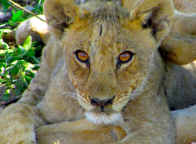 A stunning lion cub in Namibia