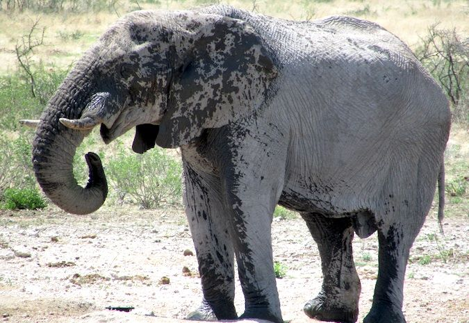 An elephant keeping cool, Namibia