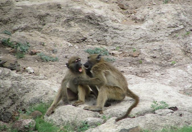Fighting (or kissing?) monkeys at the Chobe River, Botswana