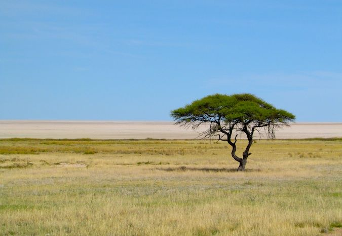 A lone tree in the savannah, Namibia