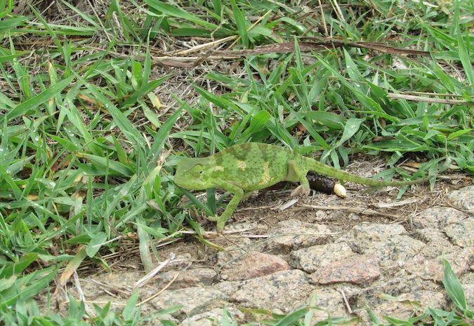 Karma karma karma karma karma chameleon in Zimbabwe