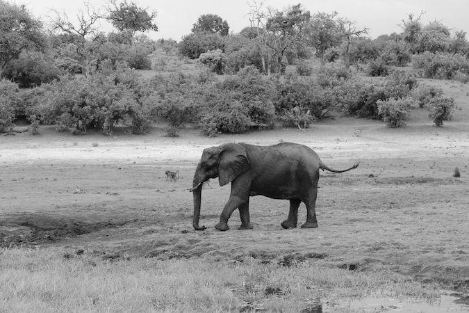 An elephant at the Chobe River