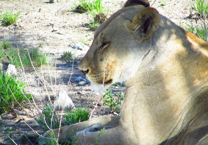 Lioness in Etosha National Park, Namibia