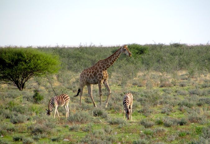 Zebras and a giraffe out for a stroll in Etosha National Park, Namibia