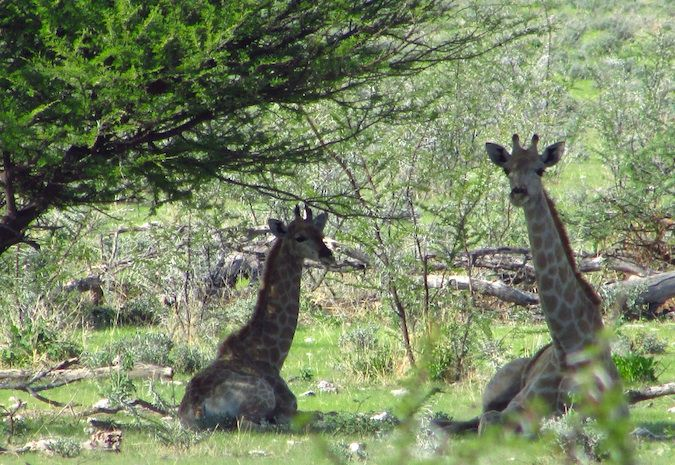 Giraffes lounging in the shade in Etosha National Park, Namibia