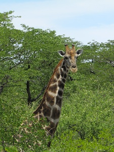 Gorgeous giraffe in Etosha National Park in Southern Africa