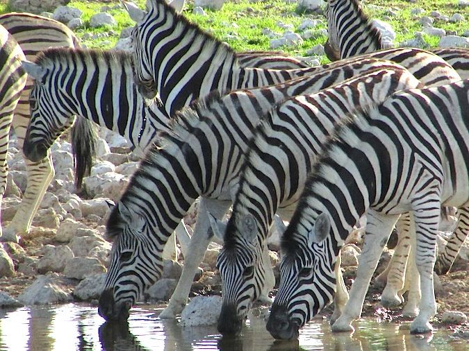 A group of zebras drinking together in Namibia