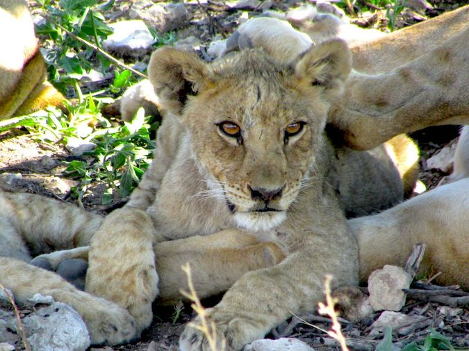 A cuddly baby lion in Etosha National Park in Africa
