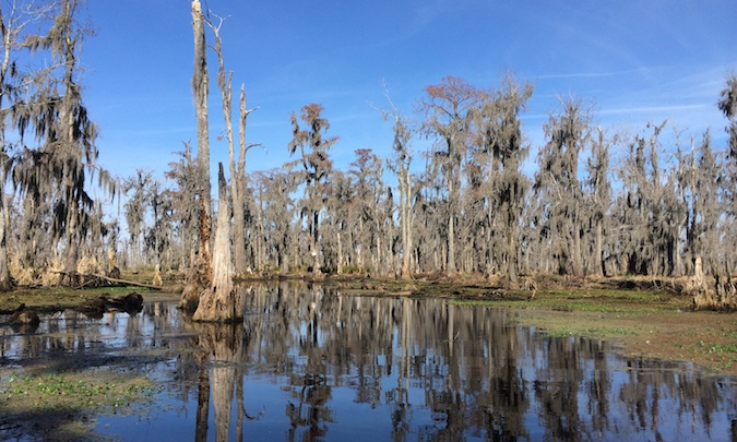 The swamp and trees of the bayou in Louisiana
