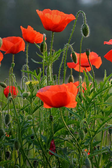 red poppies in Flanders Field, Belgium