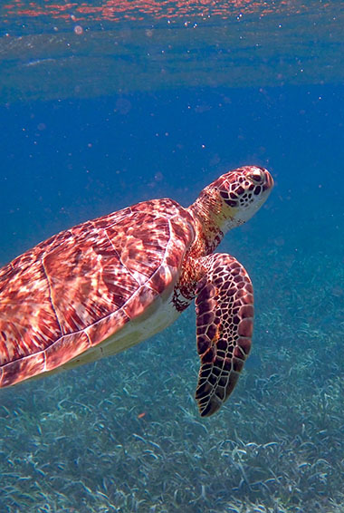 a sea turtle underwater swimming