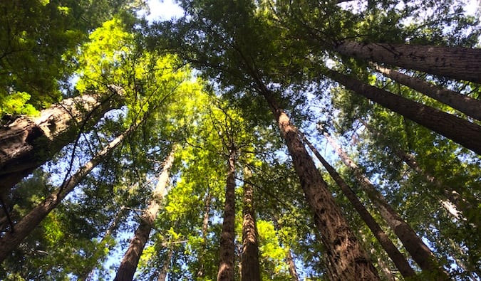 Towering redwood trees in the Redwood National Park, California during the day