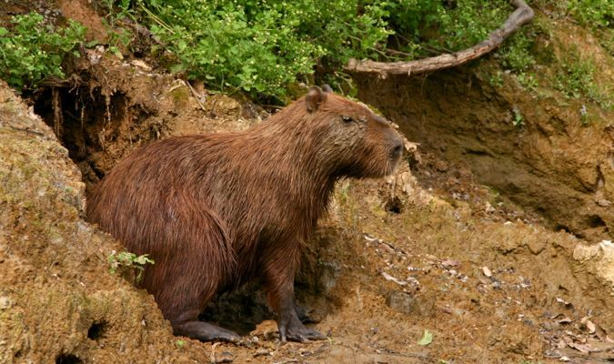 A brown capybara looking for predators in Bolivia