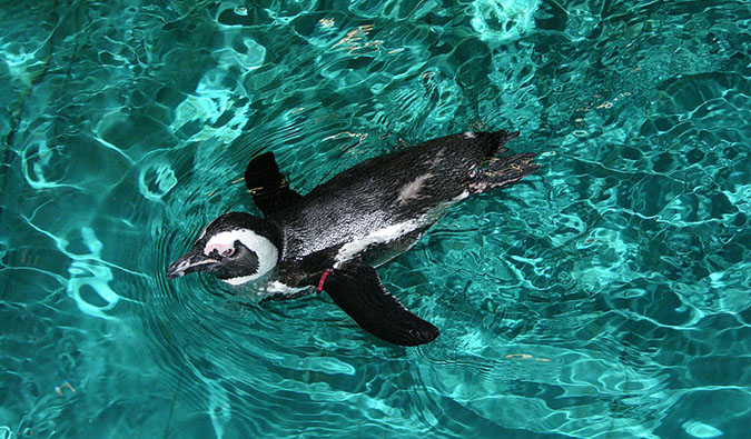 A penguin at Boston's aquarium