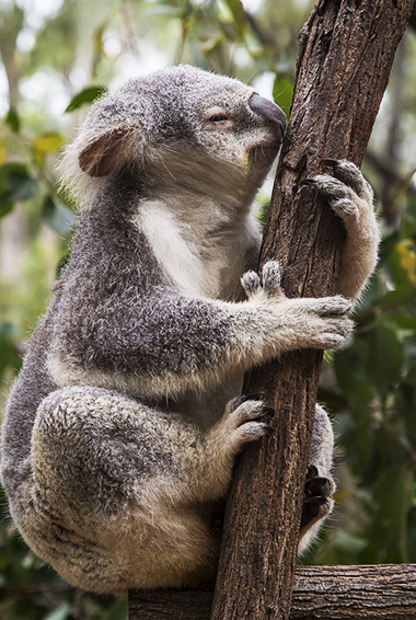 a koala at the Koala Sanctuary in Brisbane