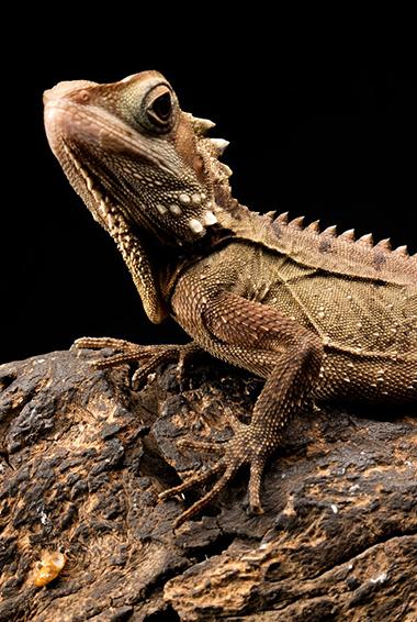 a lizard in the Daintree Rainforest