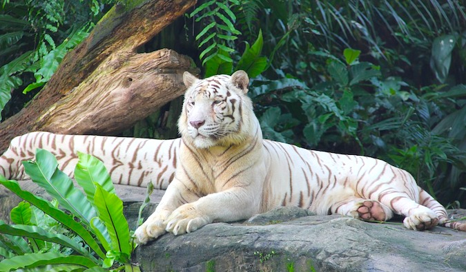 A lone tiger at the Singapore zoo