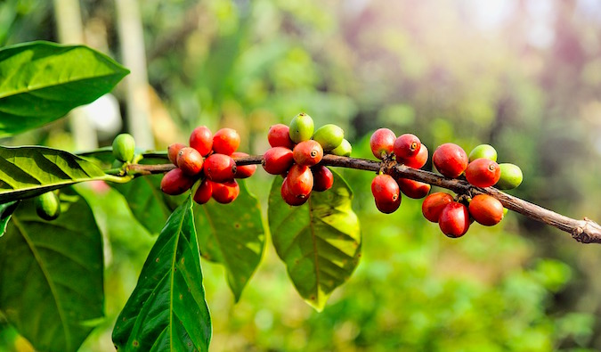 a coffee plant up close in Panama