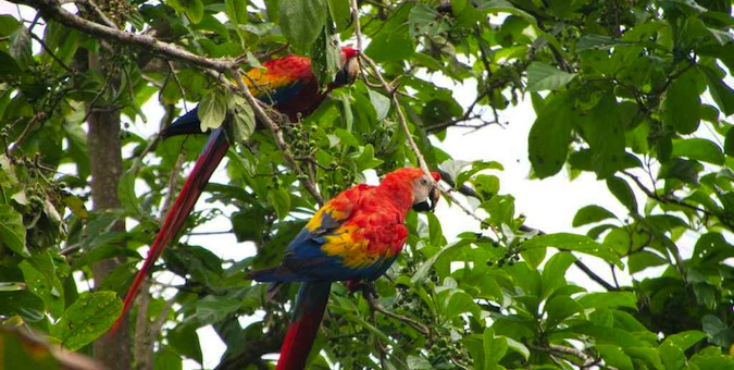 Colorful macaws perched in a tree in Costa Rica