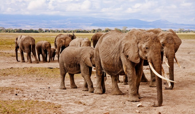 A herd of elephants photographed while on safari in East Africa
