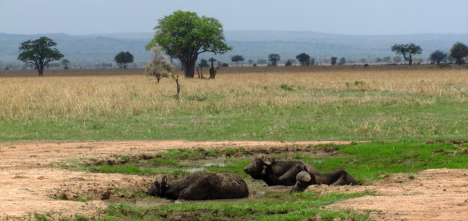 A photo of water buffalo from a safari in East Africa