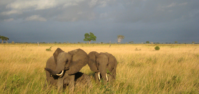 A pair of huge elephants from a safari in East Africa