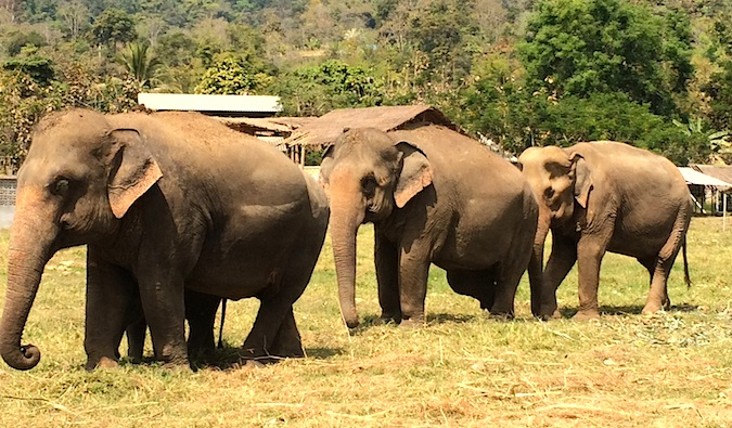 Elephants walking in the grass at Elephant Nature Park, Thailand