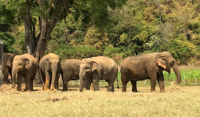 A herd of elephants at Elephant Nature Park standing in the grass together